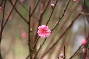 plum-blossom-1145913_960_720