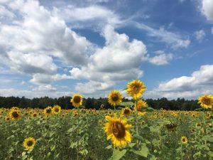 sun-flower-2602301__340